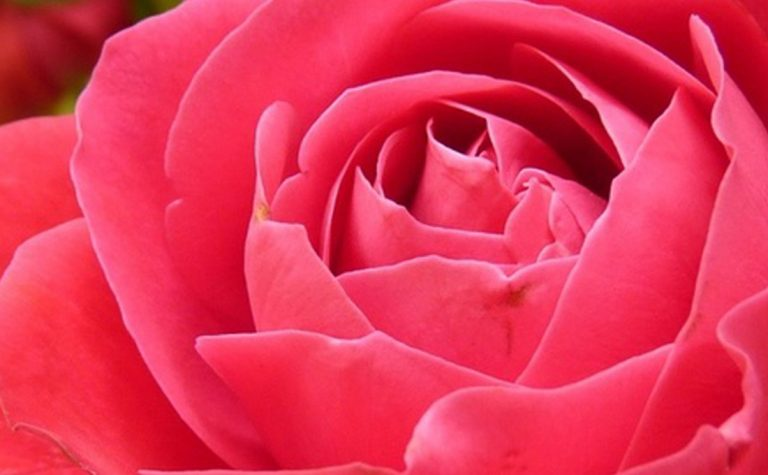 rose_rose_bloom_bloom_221155